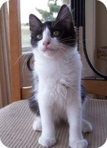 Domestic Mediumhair Kitten for adoption in Colorado Springs, Colorado - K-Norma Jean3-Renoir