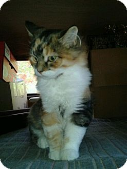 Calico Kitten for adoption in Acme, Pennsylvania - Doodlebug