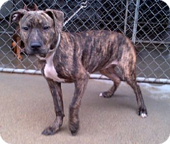 American Pit Bull Terrier Dog for adoption in Ellington, Connecticut - Selena