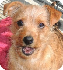 Jack Russell Terrier/Spaniel (Unknown Type) Mix Puppy for adoption in La Habra Heights, California - Loveable Louie