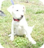 Labrador Retriever Mix Puppy for adoption in Foster, Rhode Island - Lilly-I'm in New England!