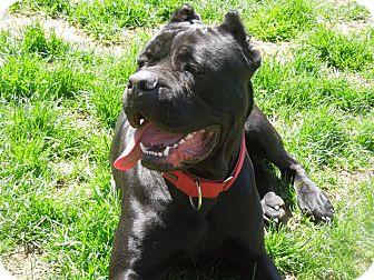 Cane Corso Dog for adoption in Virginia Beach, Virginia - Sophie-NJ
