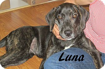 Labrador Retriever/Plott Hound Mix Puppy for adoption in Phoenixville, Pennsylvania - Luna