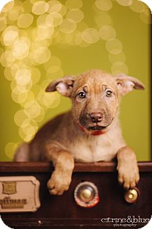 German Shepherd Dog/Pit Bull Terrier Mix Puppy for adoption in Portland, Oregon - Cecily