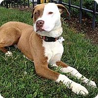 Adopt A Pet :: Rooney - Richmond, VA