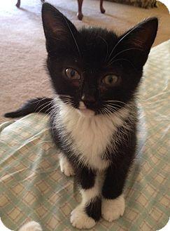 Domestic Shorthair Kitten for adoption in Monroe, Georgia - Bitsy