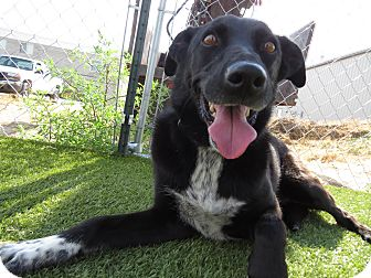 Border Collie/Cattle Dog Mix Dog for adoption in Meridian, Idaho - Roxy