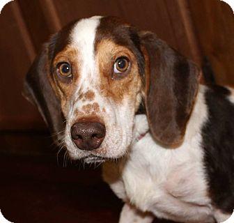 Beagle/Basset Hound Mix Puppy for adoption in Cincinnati, Ohio - Rugby: Hyden KY