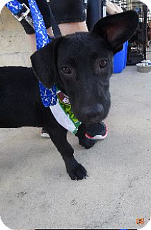 Labrador Retriever/Dachshund Mix Puppy for adoption in Olympia, Washington - Pepper