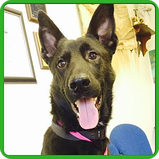 German Shepherd Dog Mix Dog for adoption in Memphis, Tennessee - JÄGER