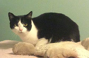 Domestic Shorthair Cat for adoption in Oakland, Oregon - Tala