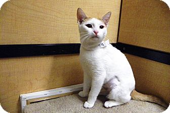 Domestic Shorthair Cat for adoption in Riverside, California - Gem