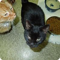 Adopt A Pet :: Vixen - Medina, OH