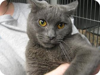 Domestic Shorthair Cat for adoption in Voorhees, New Jersey - Elsa