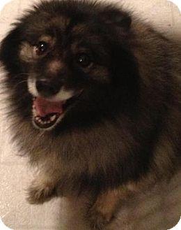 Keeshond Dog for adoption in Hastings, Minnesota - Roxy
