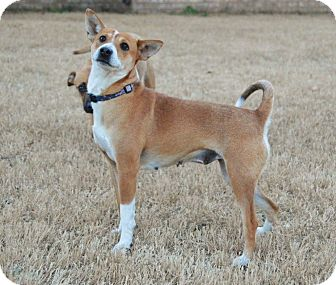 Terrier (Unknown Type, Small)/Terrier (Unknown Type, Small) Mix Dog for adoption in Medina, Tennessee - Foxy