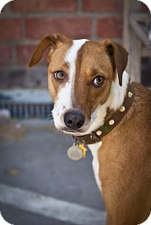 Whippet/Foxhound Mix Dog for adoption in Orange, California - Caleb