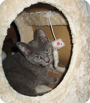 Domestic Shorthair Kitten for adoption in Queensbury, New York - Lily
