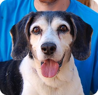 Basset Hound/Beagle Mix Dog for adoption in Las Vegas, Nevada - Maxmillian