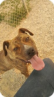 Pit Bull Terrier Mix Dog for adoption in Cody, Wyoming - Peanut