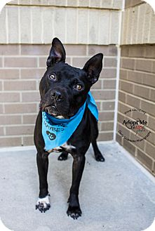 Pit Bull Terrier Mix Dog for adoption in Charlotte, North Carolina - Busta Rhymes