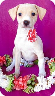 Jack Russell Terrier/Italian Greyhound Mix Puppy for adoption in Irvine, California - Lilo