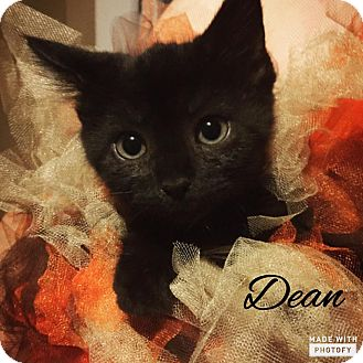 Domestic Mediumhair Kitten for adoption in Zanesville, Ohio - Dean