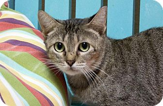 Domestic Shorthair Cat for adoption in Rockport, Texas - Melba