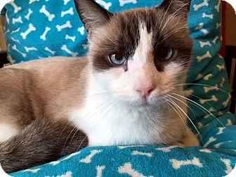 Snowshoe Cat for adoption in Las Vegas, Nevada - Travis