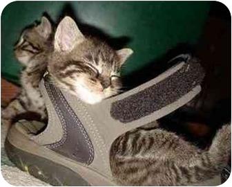 Domestic Shorthair Kitten for adoption in Lincoln, Nebraska - Kiera