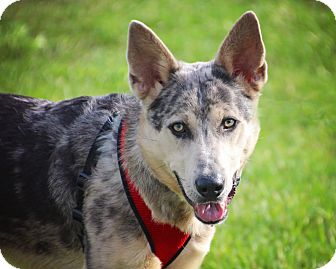 Shepherd (Unknown Type) Mix Dog for adoption in Fort Atkinson, Wisconsin - Jack