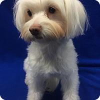 Adopt A Pet :: Sugar - Encino, CA