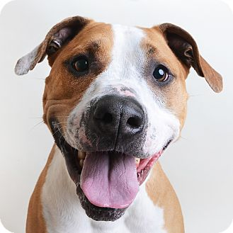 Mixed Breed (Large)/Pit Bull Terrier Mix Dog for adoption in Wilmington, Delaware - Freddie