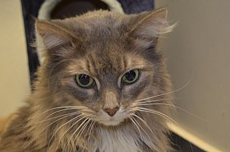 Domestic Longhair Cat for adoption in Martinsville, Indiana - Jasmine