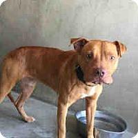 Pit Bull Terrier Mix Dog for adoption in San Bernardino, California - URGENT on 7/1 SAN BERNARDINO