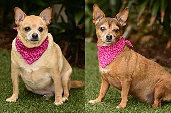 Chihuahua Mix Dog for adoption in Rancho Palos Verdes, California - Bella