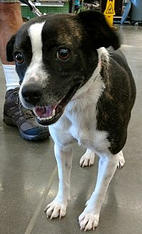 Terrier (Unknown Type, Small) Mix Dog for adoption in Cat Spring, Texas - Tess