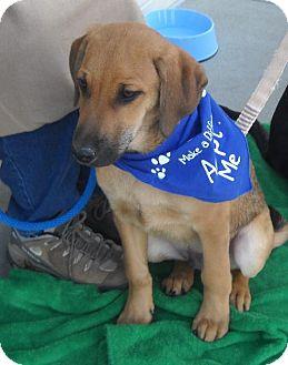 Labrador Retriever/Hound (Unknown Type) Mix Puppy for adoption in Ashland, Virginia - Prancer-PENDING!!!