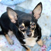 Adopt A Pet :: Chloe - adoption pending - Poland, IN