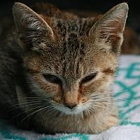Adopt A Pet :: Primrose - Attalla, AL