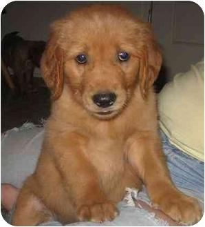 Golden Retriever Puppy for adoption in Evansville, Indiana - Golden Boys