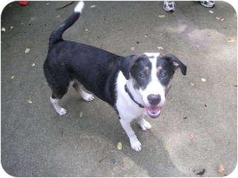 Labrador Retriever/Border Collie Mix Puppy for adoption in Edwardsville, Illinois - Duke