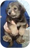 Keeshond/Australian Shepherd Mix Puppy for adoption in Portland, Maine - Green Bean