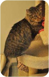 Domestic Mediumhair Cat for adoption in Gainesville, Florida - Grimsby