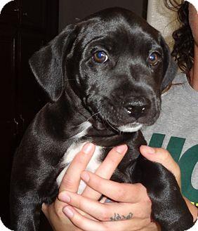 Labrador Retriever Mix Puppy for adoption in Nuevo, California - Alex