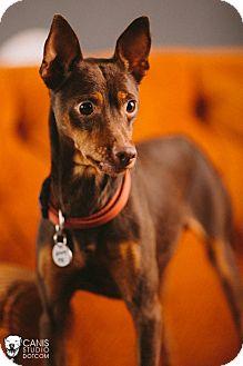 Miniature Pinscher Dog for adoption in Portland, Oregon - Patriot