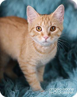 Domestic Shorthair Kitten for adoption in Eagan, Minnesota - Aurora