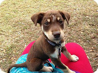 Labrador Retriever/Doberman Pinscher Mix Puppy for adoption in Homestead, Florida - Brownie