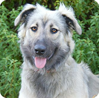 German Shepherd Dog Mix Puppy for adoption in Thousand Oaks, California - Sophia von Seelze