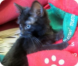 Domestic Shorthair Kitten for adoption in Buena Vista, Colorado - Aspen